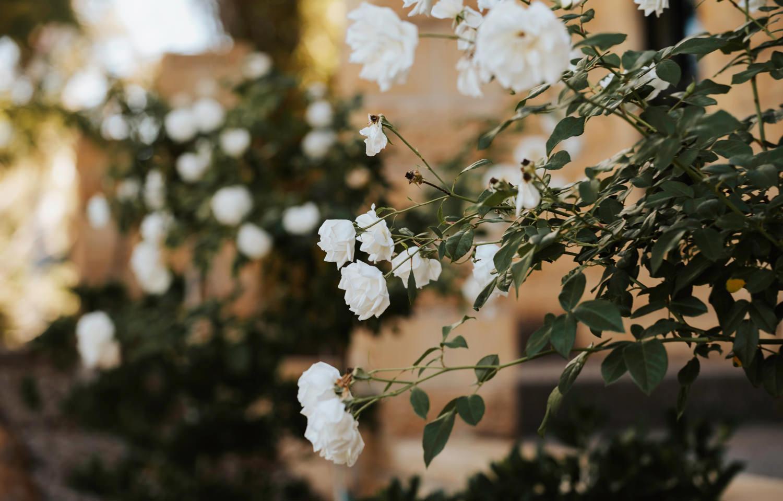 Platypus Park white roses